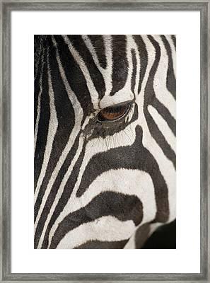 Plains Zebra (equus Burchelli), Close-up Of Eye Framed Print by Paul Souders
