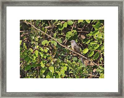 Plaintive Cuckoo Framed Print