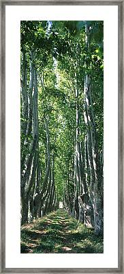 Plane Trees In A Forest, Provence Framed Print by Panoramic Images