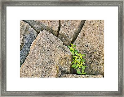 Plant In Granite Crevice Abstract Framed Print