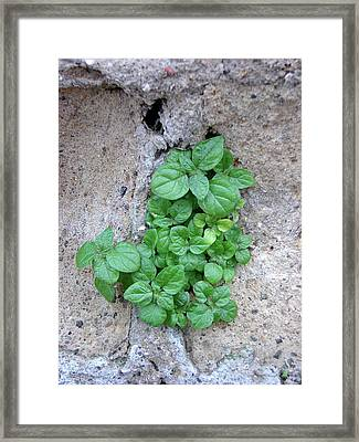 Plant In Stone Naples Italy Framed Print