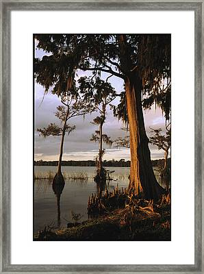 Plantation Gardens, Cypress Trees Framed Print