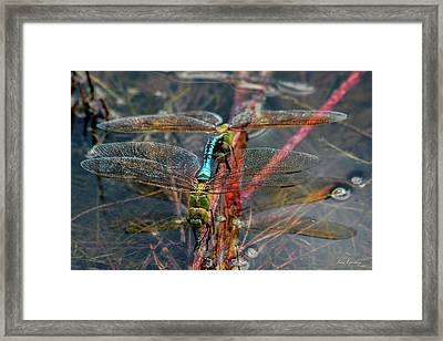 Planting Young Dragonfly Reflections Art Framed Print by Reid Callaway