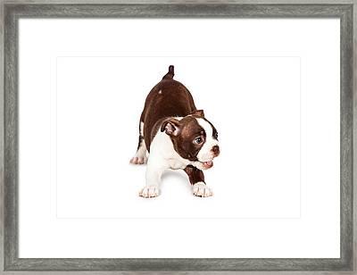 Playful Boston Terrier Puppy Dog Framed Print by Susan Schmitz