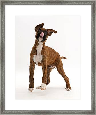 Playful Brindle Boxer Puppy Framed Print