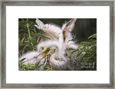 Playful Egret Chicks Framed Print