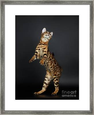 Playful Female Bengal Cat Stands On Rear Legs Framed Print by Sergey Taran