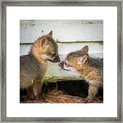 Playful Fox Kits  Framed Print by Paul Freidlund