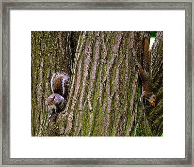 Playful Squirrels  Framed Print