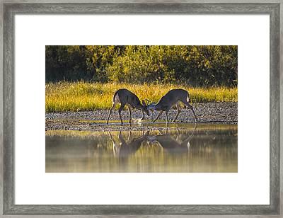 Playful Young Bucks Framed Print
