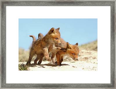 Playing Fox Kits Framed Print by Roeselien Raimond