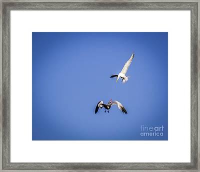 Playing Terns Framed Print