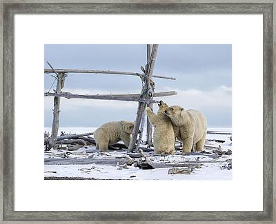 Playtime In The Arctic Framed Print