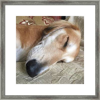 Please Be Quiet. Saluki Framed Print