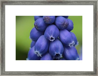 Pleasingly Plump Framed Print by Connie Handscomb