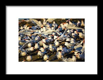 Elegant Tern Framed Prints