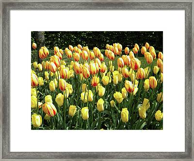 Framed Print featuring the photograph Plenty Of Tulips by Manuela Constantin