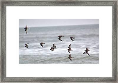 Plovers At Sea Framed Print by Rosanne Jordan