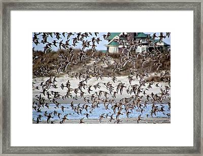 Plovers In Flight 2 Framed Print by Rosanne Jordan