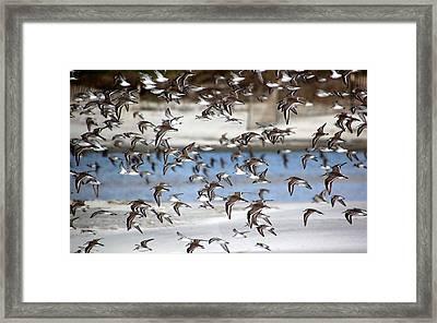 Plovers In Flight 3 Framed Print by Rosanne Jordan