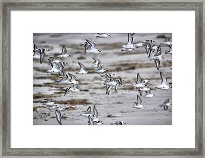 Plovers In Flight 4 Framed Print by Rosanne Jordan