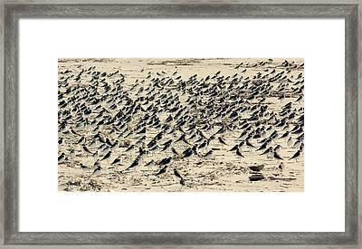 Plovers On The Shore Framed Print by Rosanne Jordan