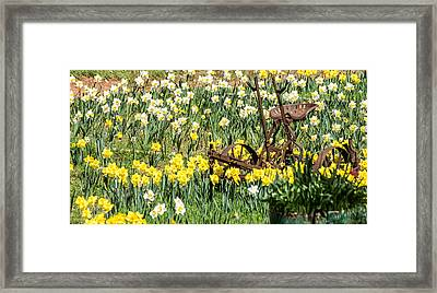 Plow In Field Of Daffodils Framed Print