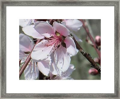 Plum Bloom Framed Print by Rosalie Klidies
