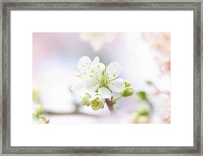 Plum Blossom Framed Print by Jacky Parker
