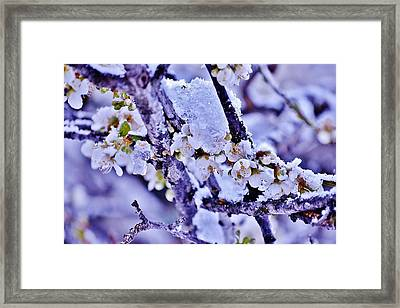 Plum Blossoms In Snow Framed Print