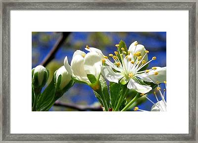 Plum Blossoms Framed Print by Will Borden