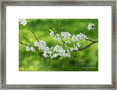 Plum Blue Tit Blossom Framed Print by Tim Gainey
