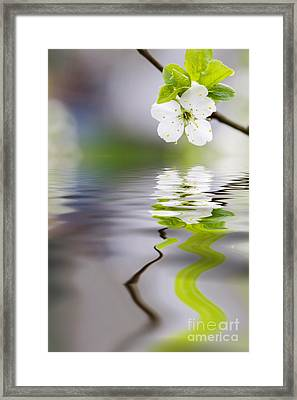 Plum Tree Blooming Framed Print