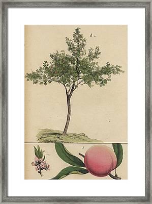 Plum Tree Framed Print by german Botanical Artist