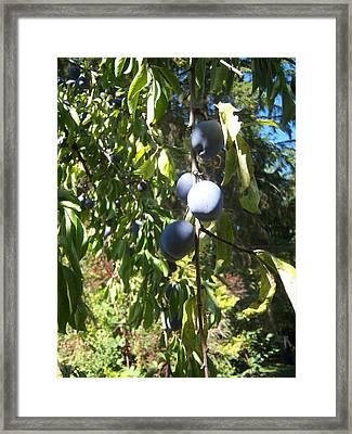 Plum Tree Framed Print by Ken Day