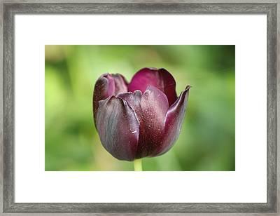 Plum Tulip Framed Print