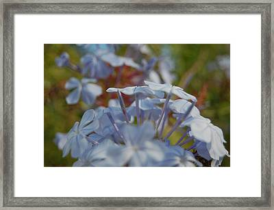 Plumbago Puffs Framed Print by Jean Booth