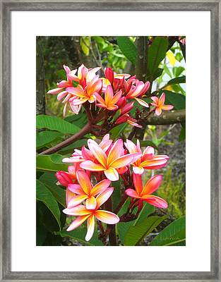 Plumeria - Pink And Orange Framed Print