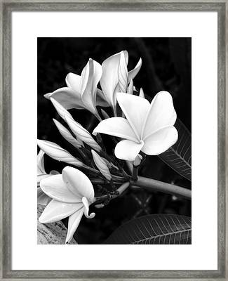 Plumeria Black And White Photograph Framed Print by Ann Powell