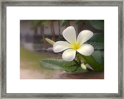 Plumeria Bloom Framed Print by Cindy Wright