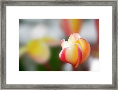 Plumeria Bloom Framed Print
