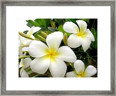 Plumeria Framed Print by Farah Faizal