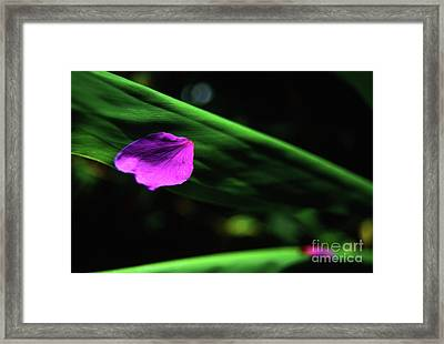Plumeria Flower Petal On Plumeria Leaf- Kauai- Hawaii Framed Print