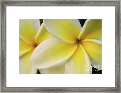 Plumeria Flowers Framed Print by Julia Hiebaum