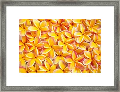 Plumeria Flowers Framed Print by Kyle Rothenborg - Printscapes