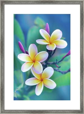 Plumerias In Pastel Framed Print