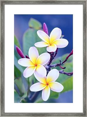 Plumeria In Pastels Framed Print by Jade Moon