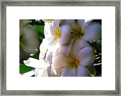 Plumeria In The Sun Framed Print