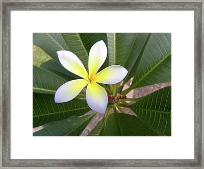Plumeria Framed Print by Larry Bishop