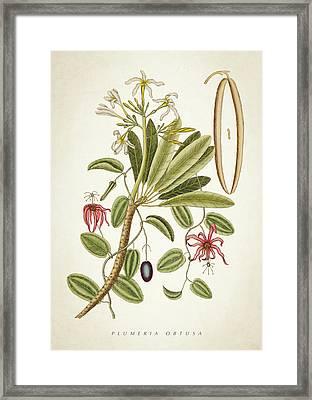 Plumeria Obtusa Botantical Print Framed Print